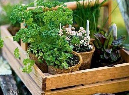 Plantes Aromatiques Pretent D Guster Ou Repiquer Persil Ciboulette Jardin