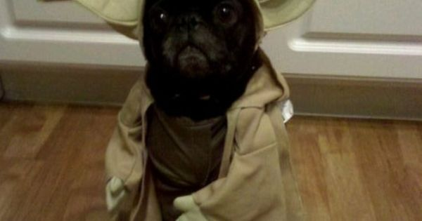 Pooped in your shoe, I have. Yoda the Pug starwars yoda pug