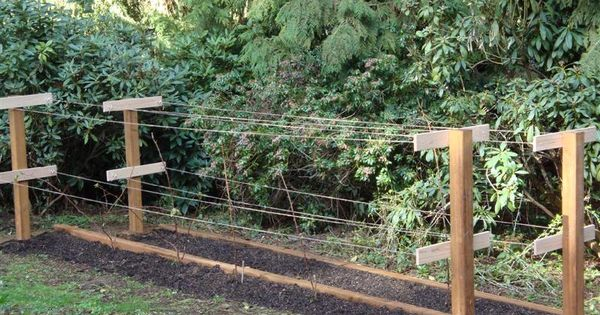 trellising for rasberries peggys favorites Pinterest