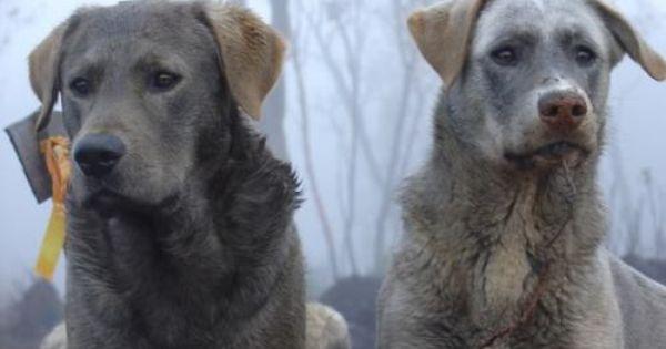 Labrador Retriever Wolfdogs Wolf Dog Labrador Retriever Hybrid Dogs