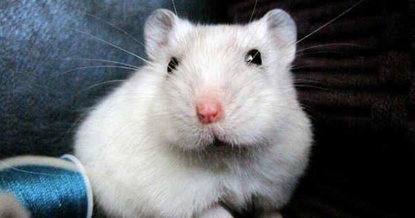 Lucy Dwarf Hamster C Angie O Neal Mit Bildern Hamster