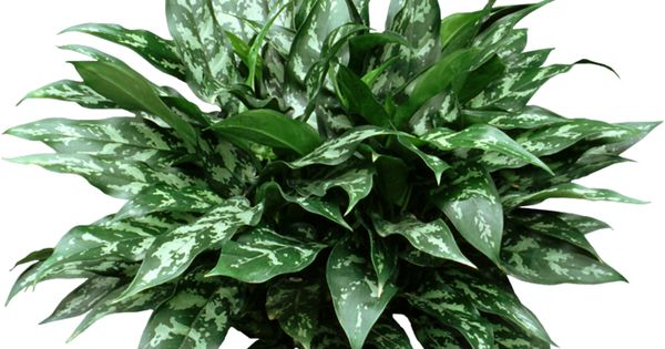 Chinese evergreen are low light easy care houseplants that clean the air but they are - Easy care indoor plants ...
