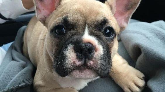 Pin By Anita Manninen On Ranskis Bulldog Puppies Bulldog Cute French Bulldog