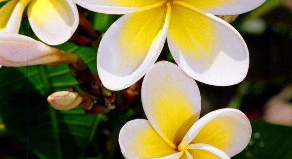 """k. Frangipani"" The frangipani grows widely around the warmer parts of Australia."