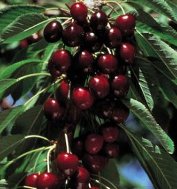 Sweet Cherry Trees From Stark Bro S Sweet Cherry Trees For Sale Dwarf Fruit Trees Growing Cherry Trees Fruit Trees