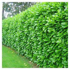 Laurel Hedge Prunus Laurocerasus Possibly The Perfect