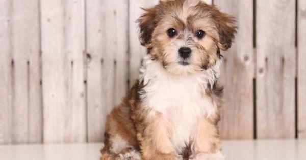 Yorkie Poo Puppy For Sale In Mount Vernon Oh Adn 43817 On Puppyfinder Com Gender Female Age 9 Weeks Old Yorkie Poo Yorkie Poo Puppies Puppies For Sale
