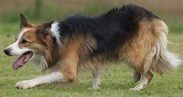 Bc Museum Saddle Patterned Border Collies What Is A Saddleback Bc Starlight Border Collies Two Lovely Purebred Bor In 2020 Border Collie Collie Border Collie Puppies