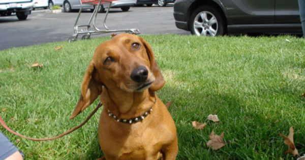 Mojo Is A Sweet And Docile Dachshund Boy Looking For A Good Home