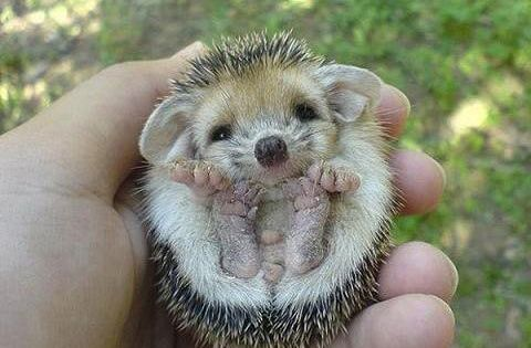 Hedgehog! ME WANT! In all honesty, I've wanted a pet hedgehog ever since the third grade. So cute!!!