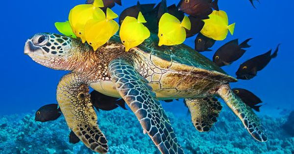 Gorgeous under water sea life shot. Sea turtle and native fish.