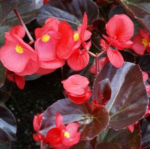 Big Red With Bronze Leaf Begonia Plant Begonia Plants Flowers