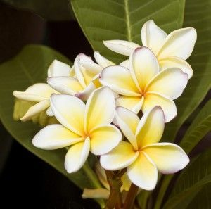 5 Things About Plumeria Flowers Plumeria Flowers Smelling Flowers Flowers