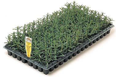 Lavender Plugs Wholesale Lavender Plants For Sale Lavender