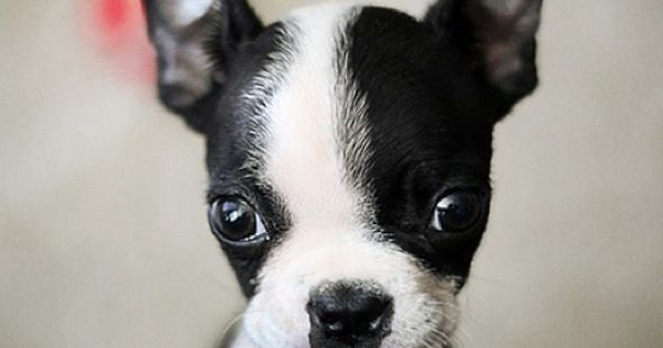 A delightful dose of Boston Terrier cuteness to start Saturday morning off