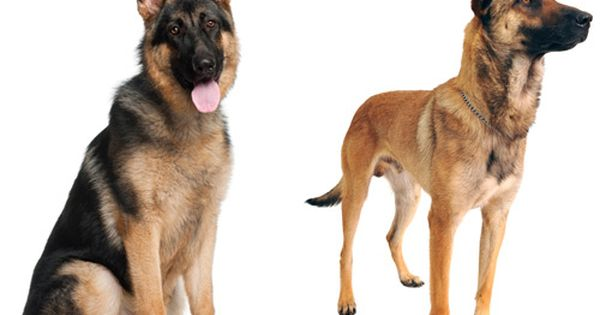 How To Tell The Difference Between Look Alike Dog Breeds