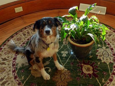 Peace Lily And Dogs Is Peace Lily Toxic To Dogs Peace Lily Peace Lily Plant Dog Safe Plants