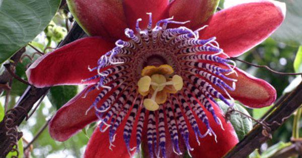 2 Yellow Passion Fruit Vine Tropical Fruit Plant By Tomstropicals 20 00 Flores Fotos De Flores Horticultura