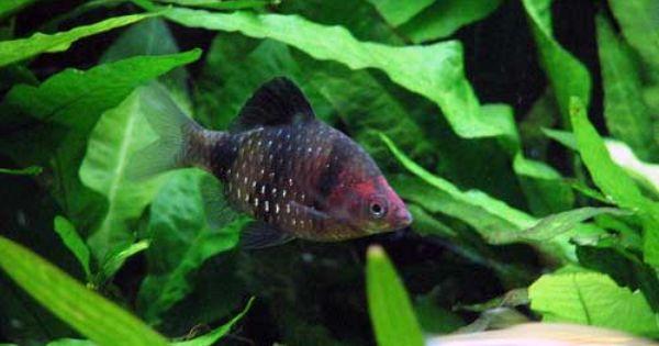 Black Ruby Barb Puntius Nigrofasciatus