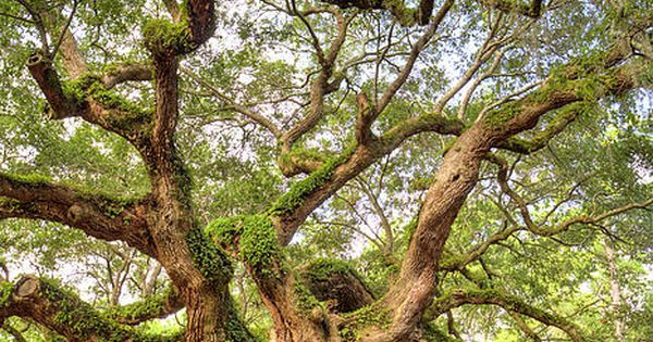 Angel Oak Tree Johns Island, South Carolina, is over 1500 years old.