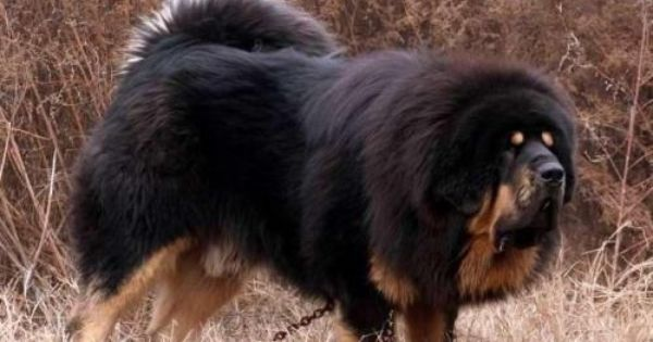 Tibetan Mastiff Price In Usa Tibetan Mastiff Puppies For Sale 09718292706 Pets World India Mastiff Puppies For Sale Tibetan Mastiff Tibetan Mastiff Puppy