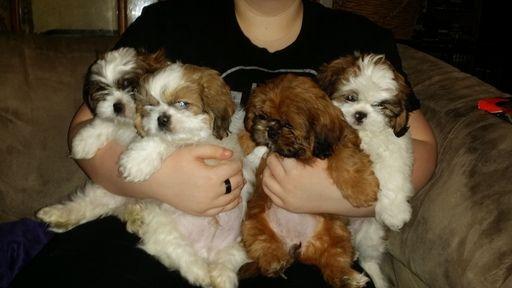 Shih Tzu Puppy For Sale In Centralia Mo Adn 24659 On Puppyfinder