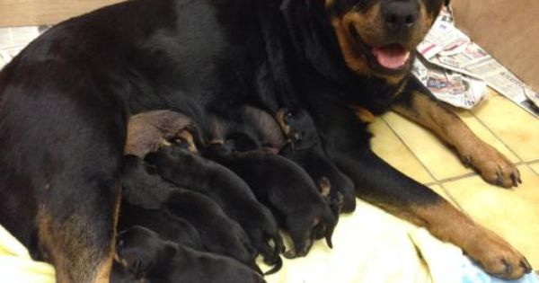 Rottweiler Puppies For Sale Female 0 8 Weeks Rottweiler Puppies Rottweiler Puppies For Sale