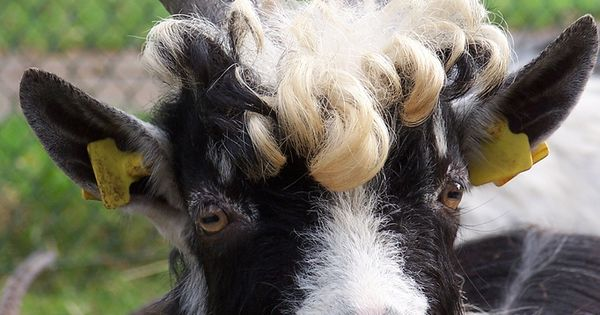headshot of friendly male goat  curly hair