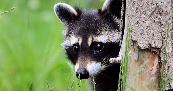 animals raccoons weasels friends - photo #18