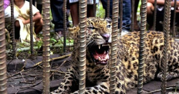 According To Local Residents A Female Leopard Along With Three Cubs Had Been On Prowl In The Thumbur Muzhi Village Since L Kerala Tourism Kerala Travel Kerala