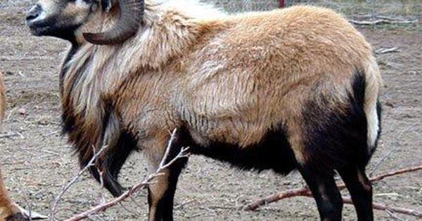 Barbadous Black Belly Sheep Breeds Sheep Farm Animals