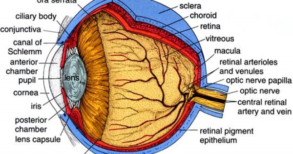 choroid artery central retinal artery google search