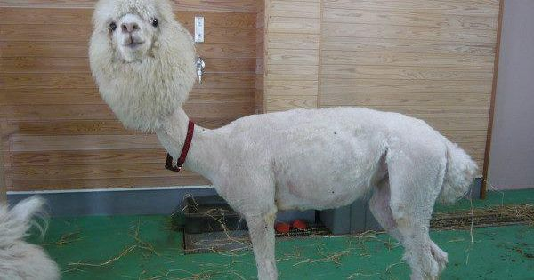 Feeling down? Here's a picture of a shaved llama. Emma cries every
