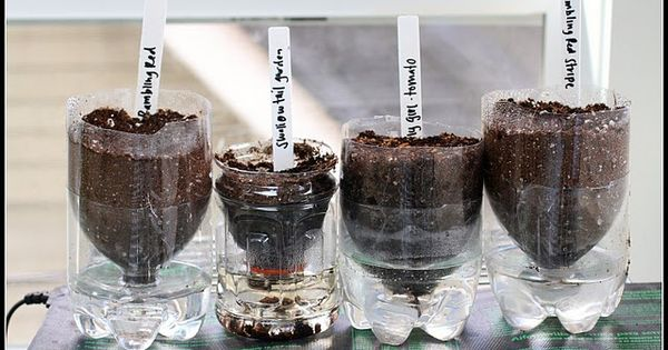 Self- watering seed starters made from two liter plastic bottles.