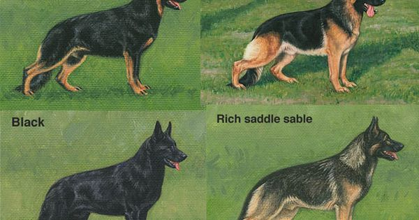 German shepherd color variance, All 4 for me please! Animals