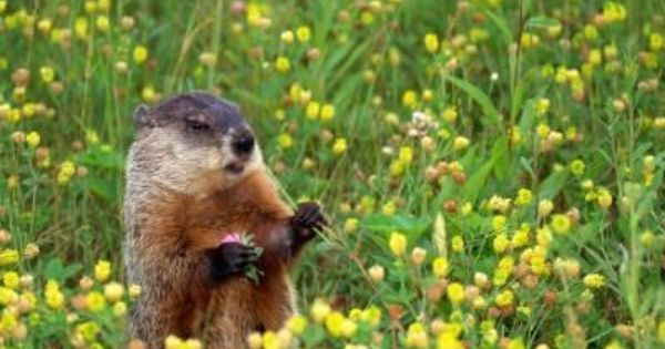How To Get Rid Of Groundhogs Naturally The O 39 Jays Natural And Moth