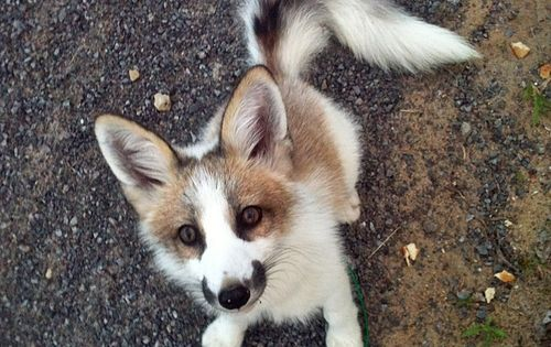 Canadian marble fox. While I feel that foxes should never be pets,