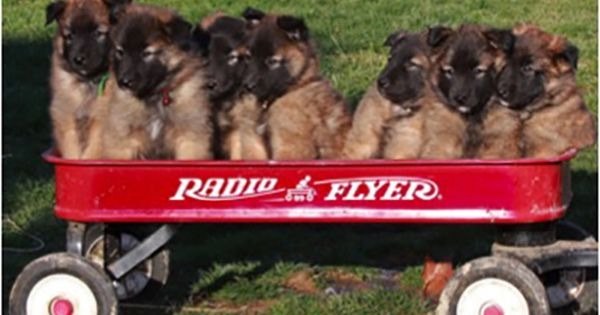 16 Ways A Belgian Tervuren Makes The World A Happier Place
