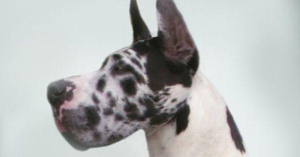 Gmj Harlequins Stud Page Great Dane Great Dane Dogs Dane Dog