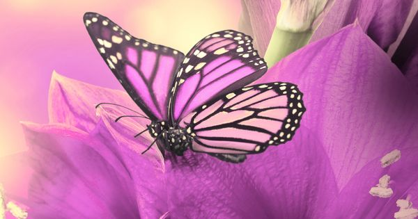 Purple Iphone 6 Wallpaper 14276 Wallpaper: Primula Purple Butterfly IPhone 6 Wallpaper