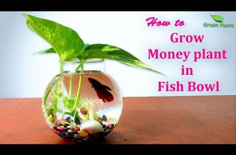 How To Grow Money Plant In Fish Bowl Money Plants Growing Ideas Pothos Decoration Green Plants In This Video Tips To Money Plant Fish Bowl Green Plants