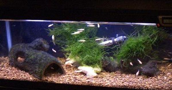 African Clawed Frog Housing And Feeding African Clawed Frog Frog Tank Frog