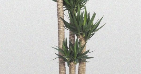 yucca spineless cane my job tropical plants pinterest plants indoor gardening and. Black Bedroom Furniture Sets. Home Design Ideas