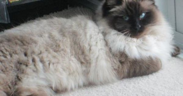 Seal Point Ragdoll Cats Mitted Colorpoint Bicolor Lynx Ragdoll