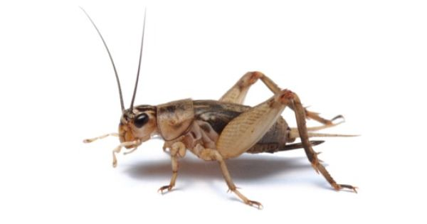 34e91835b6382f7e353d7d8dfeb6bcc7 - How To Get Rid Of Crickets In The House Nz