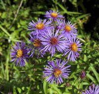 New England Aster Ontario Wildflower Ontario Flowers Wildflower Garden Native Plant Gardening
