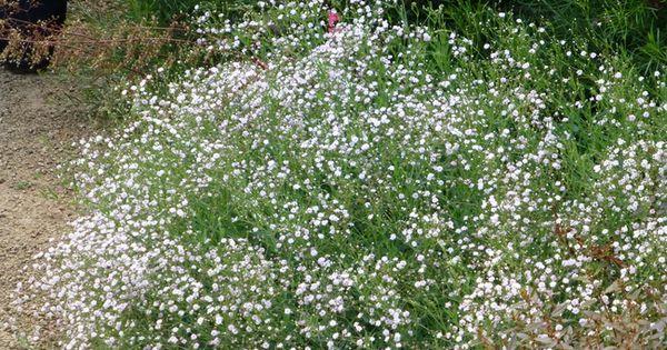 Gypsophila paniculata bristol fairy planter au soleil pour massifs ou fleurs coup es j 39 ai - Landschapstuin idee ...