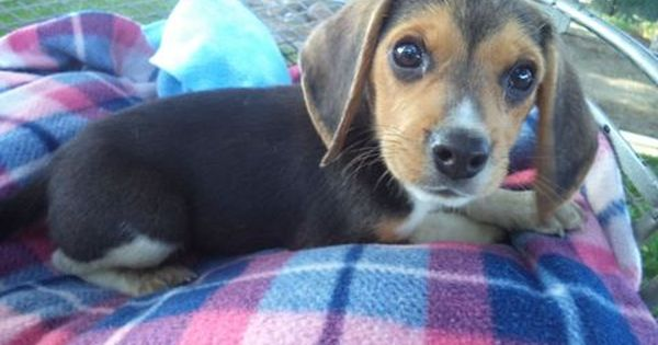 Litter Of 6 Beagle Puppies For Sale In Fresno Ca Adn 48886 On