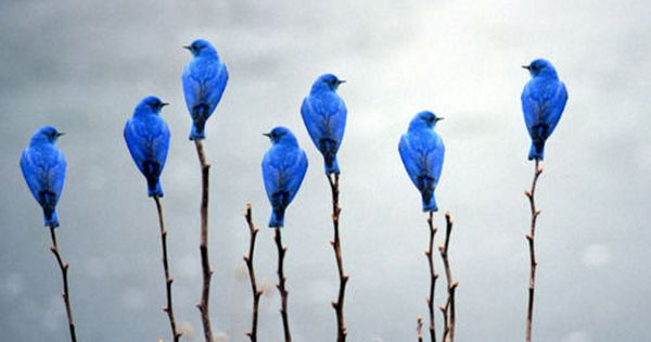 7 BLUE BUNTINGS bluebirds. I put this photo in a weird place