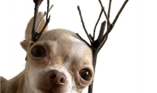 Merry Christmas Reindeer Chihuahua with stick antlers... cute, cute! - funny dog